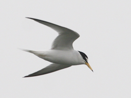 Little_Tern_MJG_130508