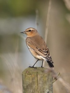 Northern_Wheatear