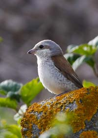 Red-backed_Shrike_Andy_Whitney_3