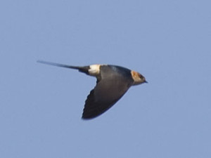 Red_rumped_Swallow_Andy_Whitney_310307