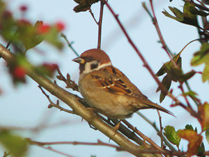 Tree_Sparrow_121107_SRB