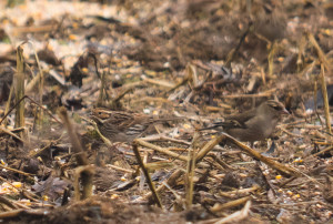 Little Bunting SCB