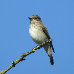 Spotted Flycatcher Pegsdon 9th Sep 17