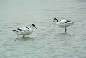 Avocets Broom SCB