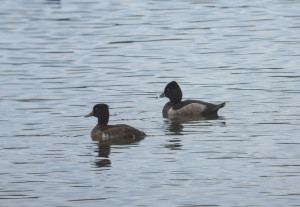 Ring-necked Duck SCB